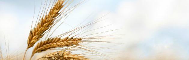 Close up of ripe wheat ears against beautiful sky with clouds.
