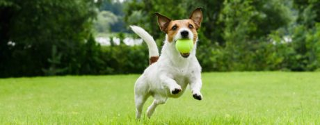 A Jack russell running in the park with a tennis ball in its mouth.