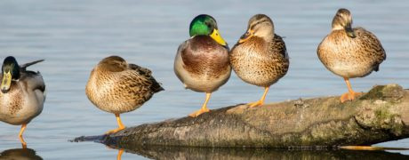 Male and female Mallard ducks sitting on a wooden log over water.